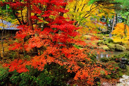 Maple tree in Japanese garden photo