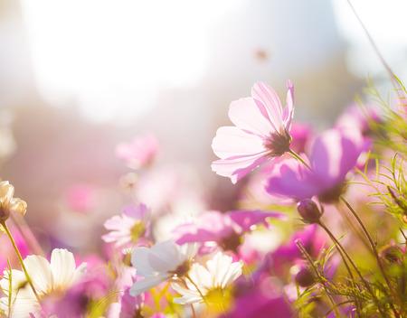 Purple camomile under sunlight photo