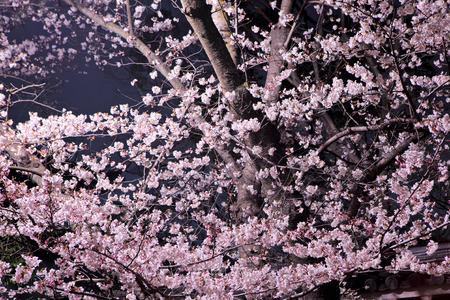 Sakura flower at night photo