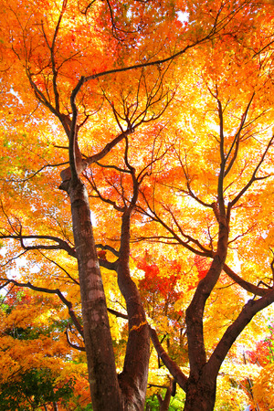 Red maple tree photo
