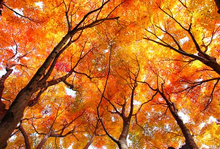 Autumn: Árbol de arce en otoño Foto de archivo