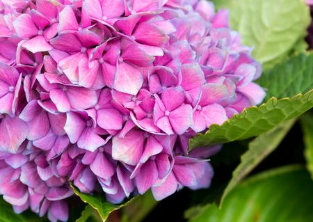 Tender hydrangea purple flower photo