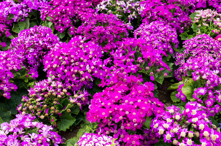 senecio: Senecio flower field