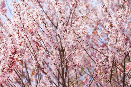 sakura arbol: Hermoso �rbol de sakura rosado