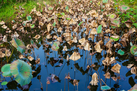 Dead lotus pond photo