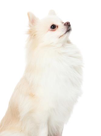 pomeranian: Cute pomeranian puppy looking up Stock Photo