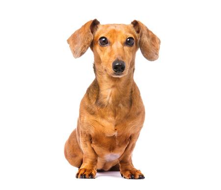 Dachshund Dog Archivio Fotografico