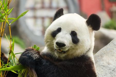 oso panda: Hungry panda gigante oso comiendo bambú