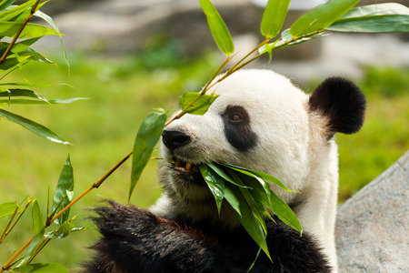 panda: Hungry giant panda bear eating bamboo