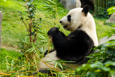 endanger: Giant Panda eating bamboo Stock Photo