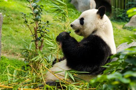 oso panda: Panda gigante que come el bambú