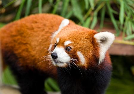 catlike: Curious red panda