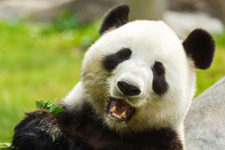oso panda: Oso panda comiendo bambú