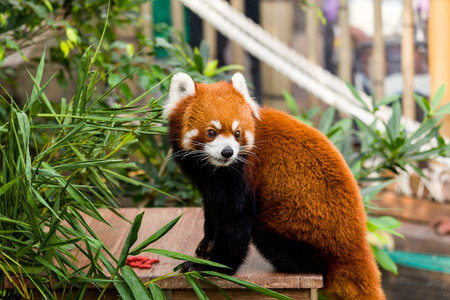 oso panda: Oso de panda roja