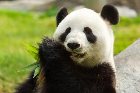 bambu: Oso panda comiendo bambú