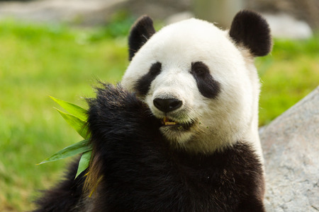 panda: Panda bear eating bamboo