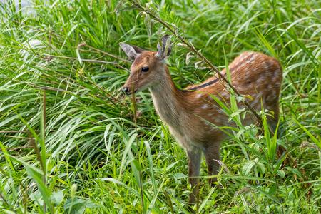 sika deer: Sika Deer in grassland