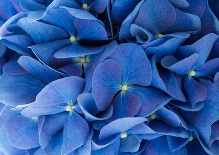 hydrangea macrophylla: Blue Hydrangea macrophylla flower