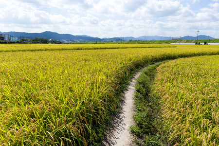 though: Pathway though rice field Stock Photo