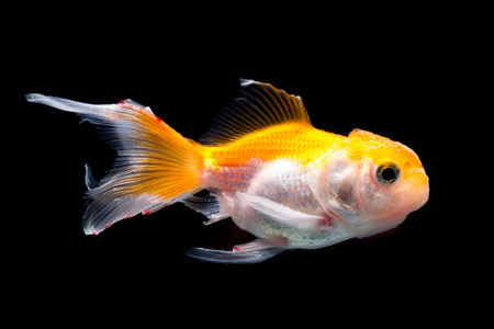 jelly head: Goldfish on black background Stock Photo