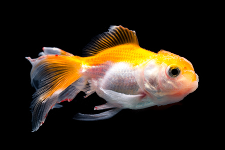 ichthyology: White goldfish with red head on a black background Stock Photo