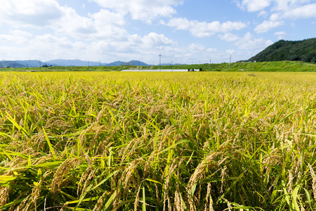 crop margins: Paddy fields in the autumn