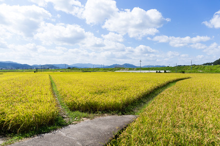walking path: Walking path between the paddy rice meadow