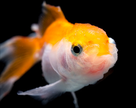 jelly head: Beautiful Gold fish