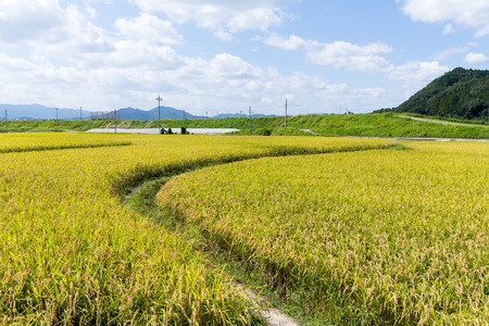 though: Walkway though Paddy rice field Stock Photo