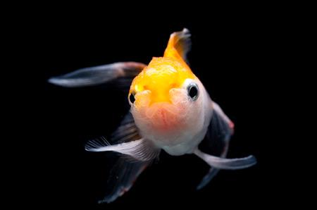 oranda: Oranda Goldfish