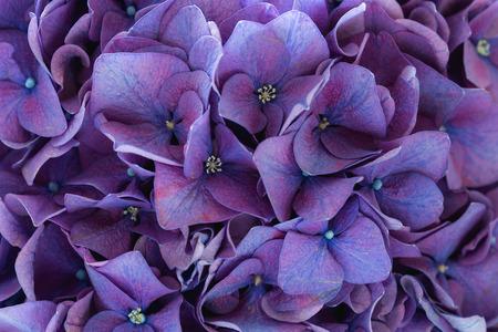flores moradas: Purple hortensia Foto de archivo