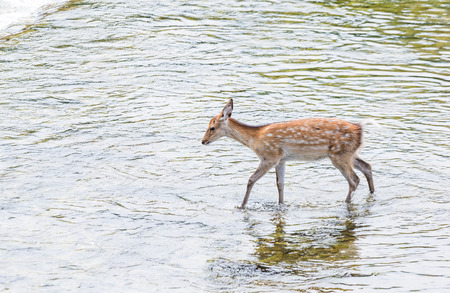 though: Roe deer passing though the lake