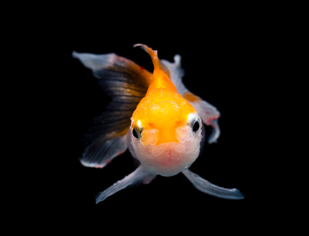 tanjo: Gold fish isolated on black Stock Photo
