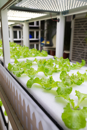 Small plants growing in Hydroponic culture Stock Photo