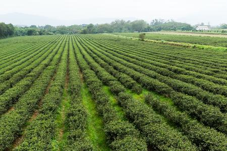 sprinkle system: Tea farm