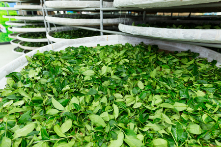 fermentation: Fermentation of tea in factory