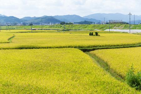 paddy: Paddy rice field Stock Photo