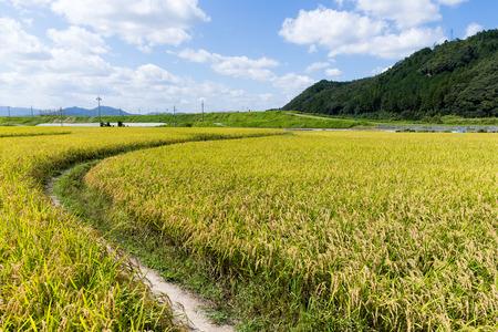Autumn rice meadow