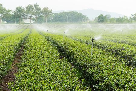 sprinkle system: Tea Plantations