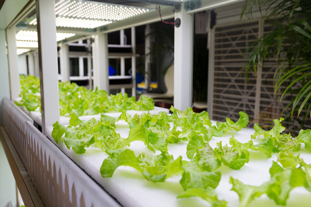soilless cultivation: Hydroponic vegetable plantation system