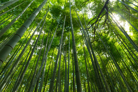 thick growth: Bamboo forest