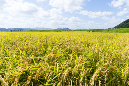 crop margins: Rice field