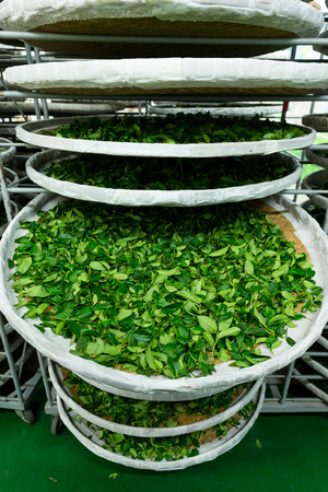 evaporate: Processing of fermentation for tea in factory