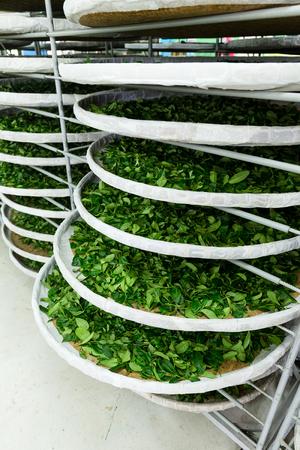 evaporate: Fermentation racks of tea in factory