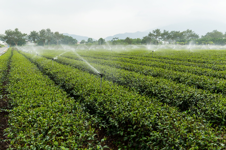 cropland: Green tea plantation with water sprinkler system Stock Photo