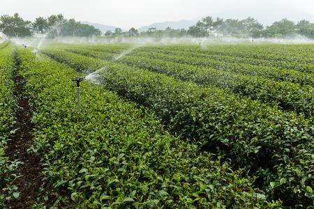 water sprinkler: Green Tea Farm with water sprinkler system