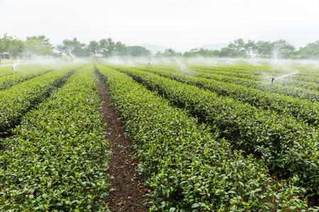 cropland: Tea plantation with water sprinkler system Stock Photo