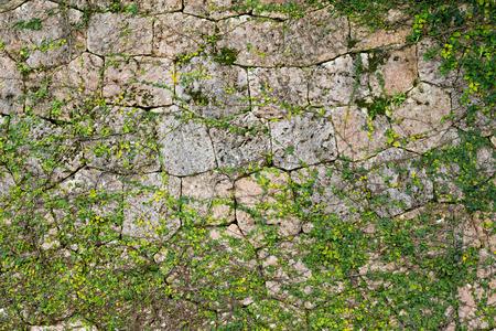 alkalmasság: Zöld Creeper Növénytermesztési egy kőfal