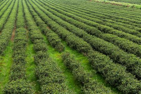 sprinkle system: Fresh green tea plantation