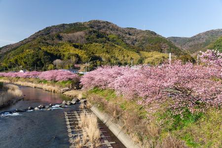 rapaseed: Kawazu cherry tree in shizuoka japan
